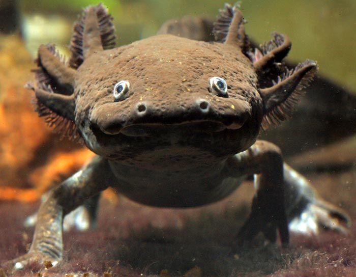 axolotl.jpeg